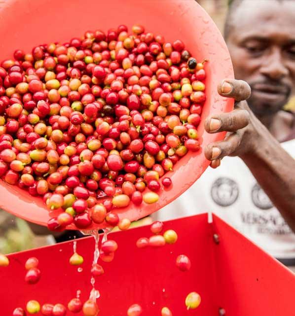 قهوه اوگاندا 2