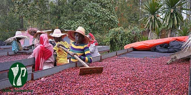 قهوه در اتیوپی